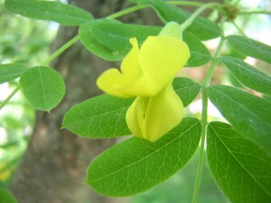 Карагана древовидная - листья