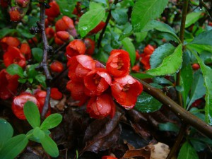 айва японская - цветок