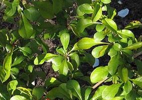 айва японская - листья