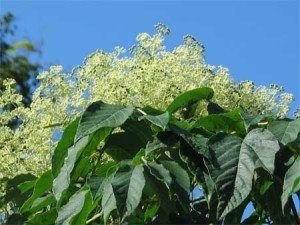 Аралия маньчжурская - листья