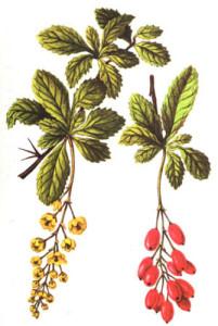 Барбарис обыкновенный листья