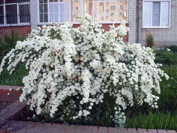 Декоративно цветущие кустарники