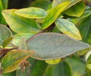 абелиа грандифлора-листья