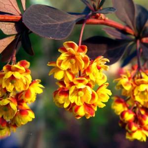 Барбарис Тунберга- цветок