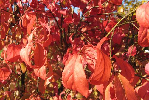 Бересклет бородавчатый-листья
