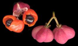 Бересклет бородавчатый-плод