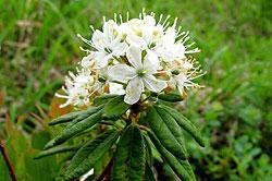 багульник болотный - белый цветок