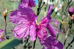 Багульник болотный- розовые  цветы