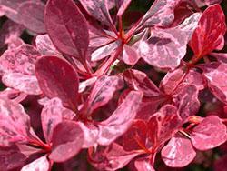 Барбарис тунберга - бардовые листья