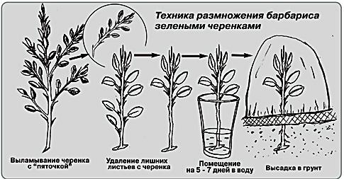 барбарис вегетативное размножение
