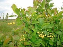 Барбарис - зеленые листья