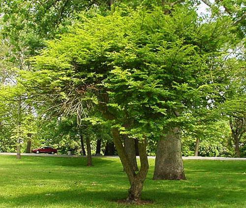 Бересклет европейский-форма дерево
