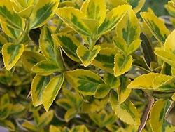 Бересклет Форчуна - листья