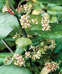 Бересклет Форчуна - цветы