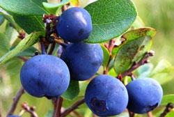 голубика садовая-ягоды
