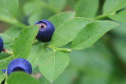 голубика садовая-листья