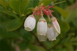 голубика садовая-цветы