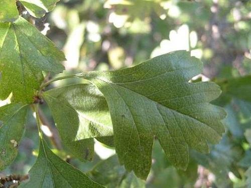 Боярышник обыкновенный - листья