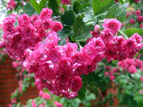 Боярышник обыкновенный - цветы