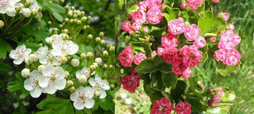 Боярышник однопестичный - цветы