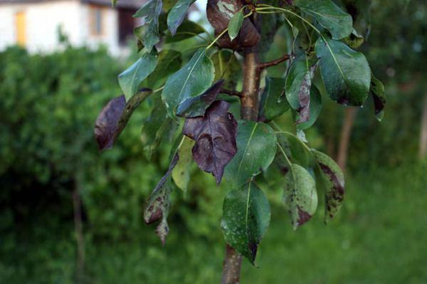 Болезни декоративных кустарников – симптомы, лечение, профилактика