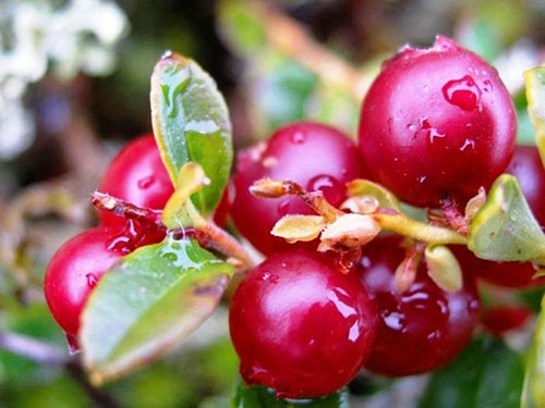 Брусника - ягоды