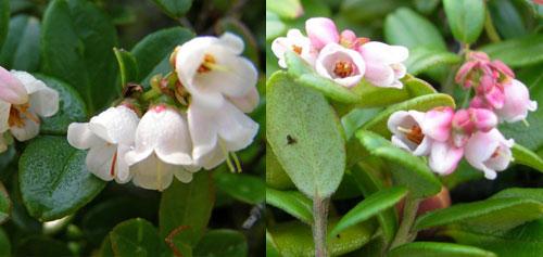 Брусника - цветы