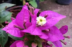Бугенвиллия сандериана - прицветник