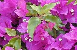 Бугенвиллия сандериана - листья
