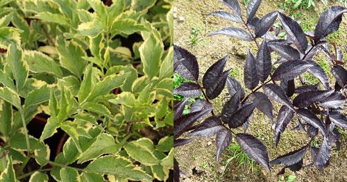 Бузина черная - листья