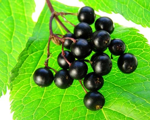 Бузина черная - плоды