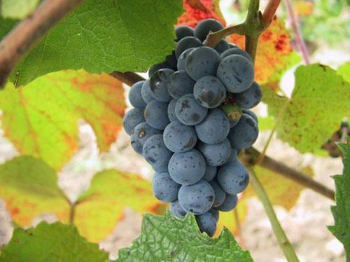 виноград амурский -ягоды