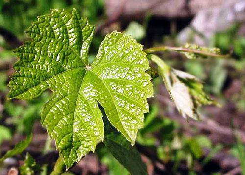 виноград амурский - листья