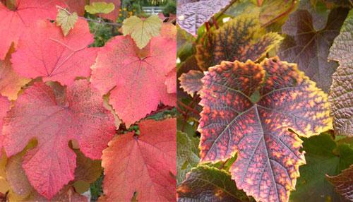 виноград амурский - весенние листья