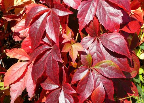 Виноград девичий - багровые листья
