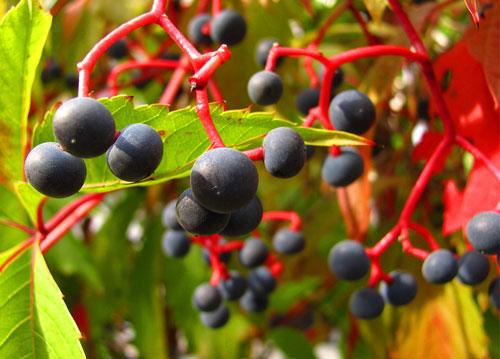 Виноград девичий - ягоды