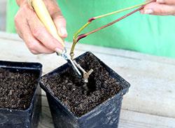 Виноград девичий - размножения черенками