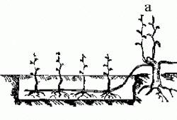 Виноград девичий - Вегетативное размножение