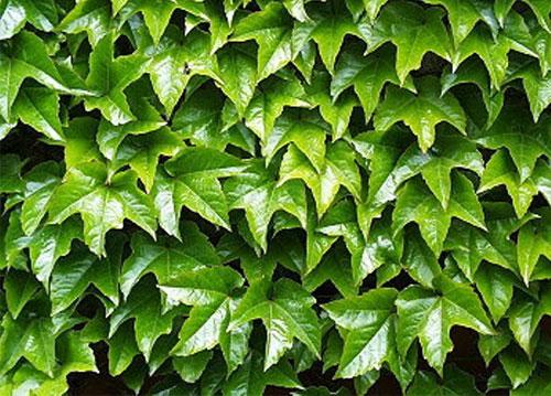 Виноград девичий - зеленые листья