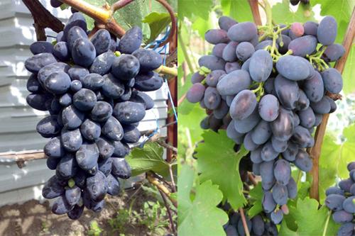 Виноград Кодрянка -ягоды