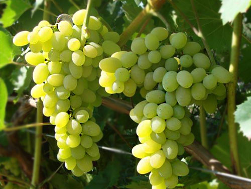виноград лора-ягоды
