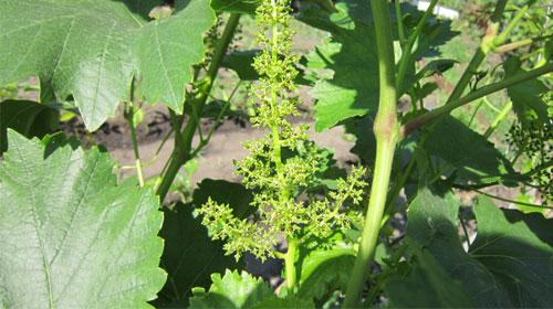 виноград лора-цветение