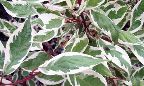 Дерен белый листья