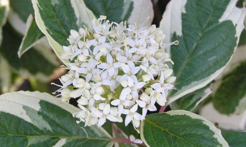 Дерен белый цветы