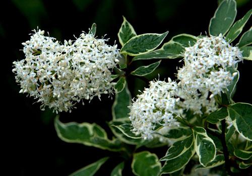 Дерен пестролистный - цветы