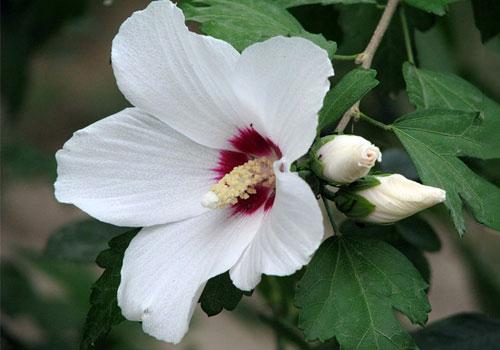 Гибискус древовидный цветок