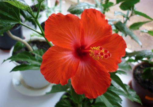 Гибискус китайский - цветок