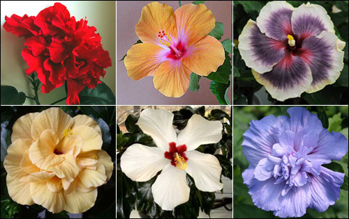 Гибискус комнатный - цветы