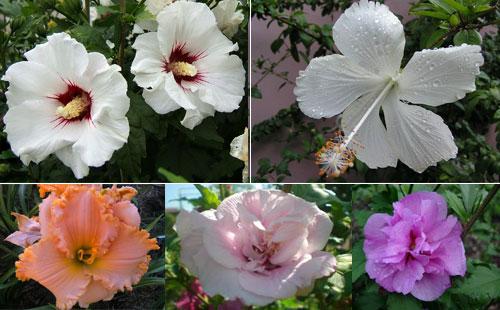 Гибискус садовый - цветы