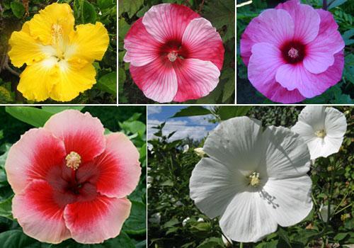 Гибискус травянистый - цветы